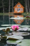 Still life of water lily and cottage